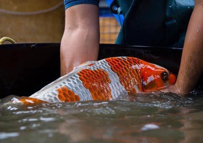 Căn bệnh nguy hiểm nhất cho cá Koi