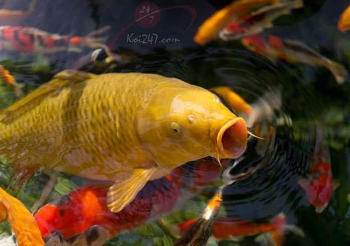 Căn bệnh nguy hiểm nhất cho cá Koi (tập 2)